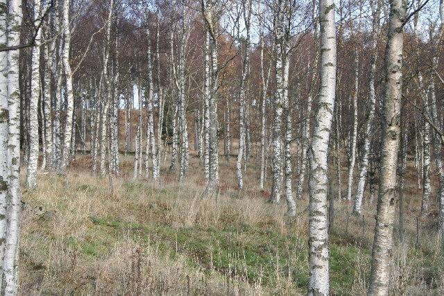 Downy Birch at Marywell Farm