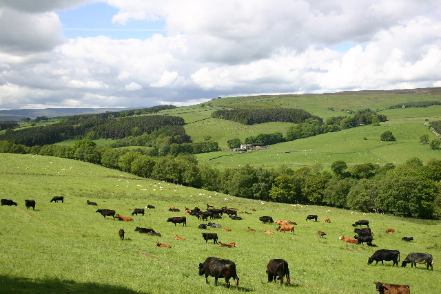Cattle Grazing between Wolsingham and Tunstall