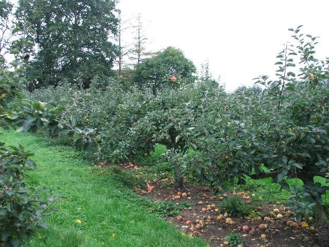 Kent orchard just outside Cranbrook