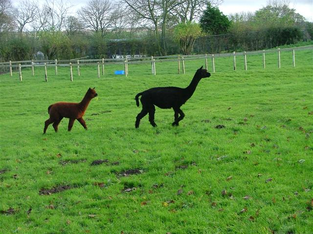 Alpacas in a Paddock at Scaling