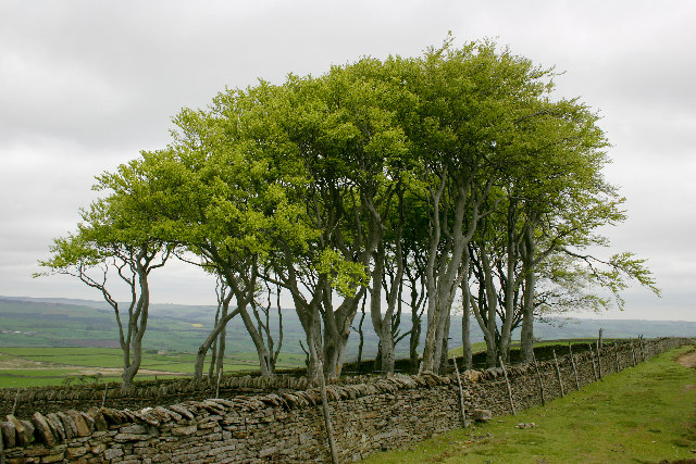The Elephant Trees, above Frosterley