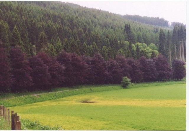 Beech Trees, Dalmarnock nr. Dalguise, Perthshire