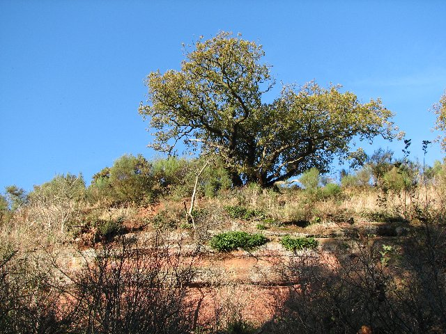 Oak tree on cliff