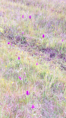 Marsh orchids on waste ground between Warrington Road and Marlborough Avenue