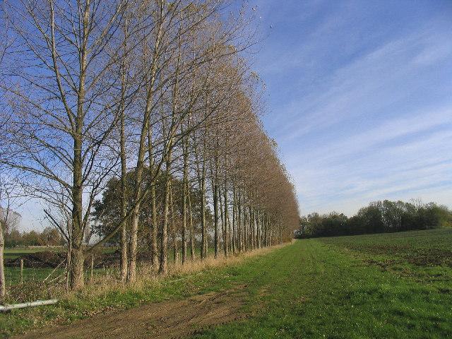 Poplar Trees near Moreton, Essex