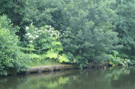Giant hogweed on the Leeds & Liverpool Canal bank, Lower Ince