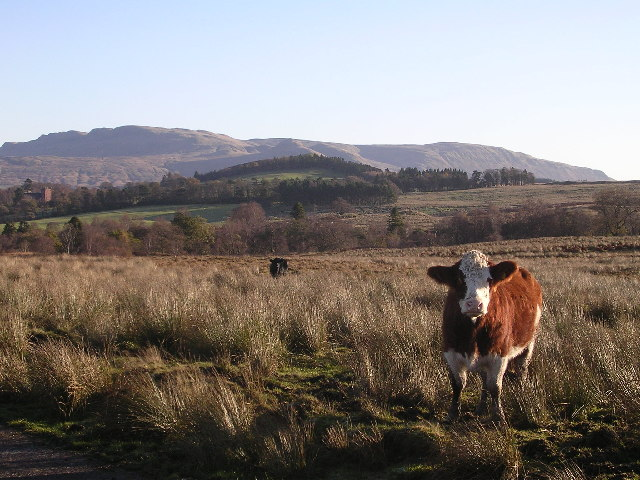 Cattle on Cameron Muir