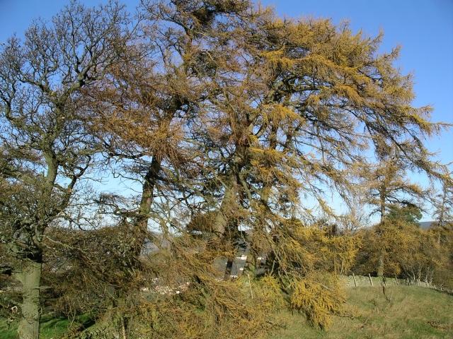 Larches near Haystoun