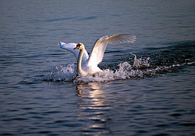 Swan Landing in the Fleet at Abbotsbury Swannery