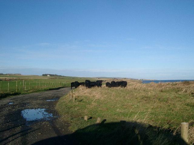 Cattle, Cocklawburn dunes