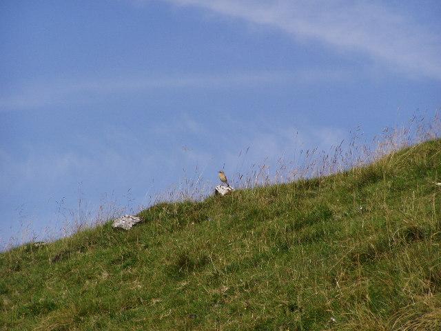Wheatear, Cavedale, near Castleton, Derbyshire