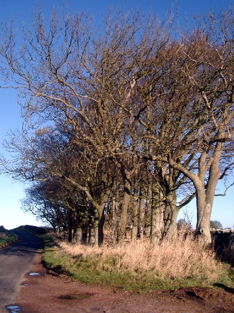 Trees edging the road near Cartington