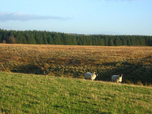 Sheep, Hare Burn.