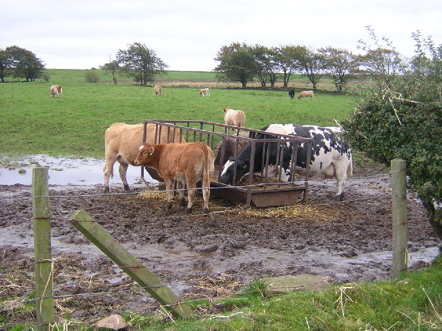 Cattle Feeding Near Cladance Farm