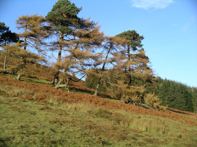 Old larches and pines, Glensax