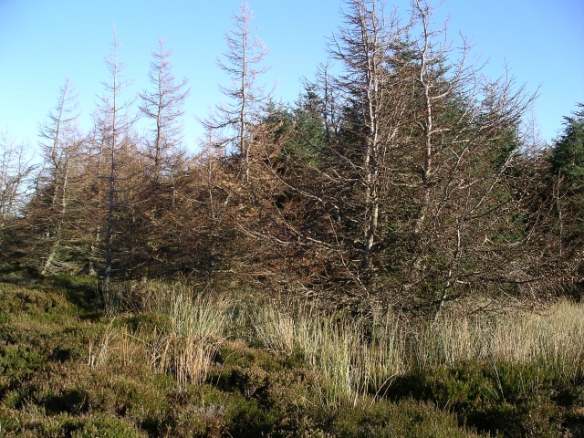 Larches, Cardrona Forest