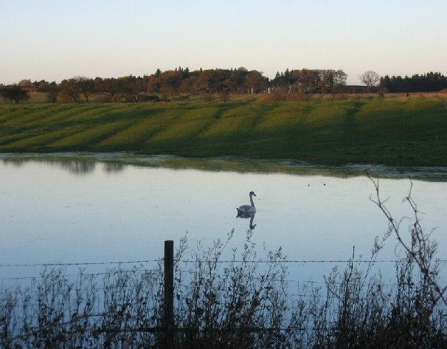 Cygnet in a pond near Brenkley