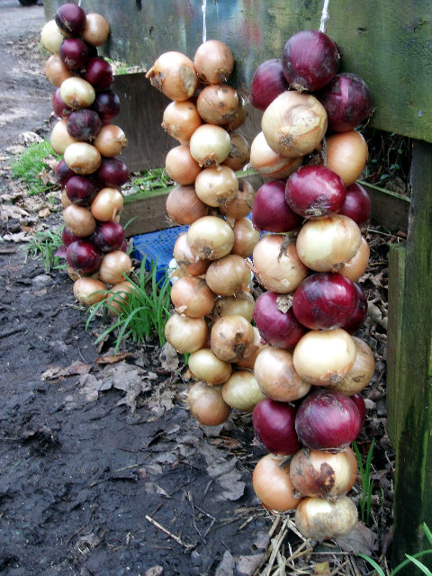 New season onions for sale at Crean Bottoms