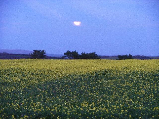 Rape fields by moonlight, Warren Lane