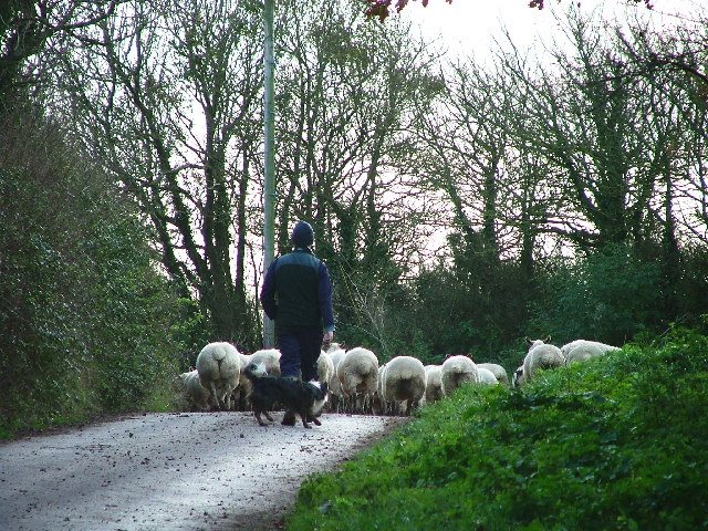 Shepherd and his Sheep, Pump Hill, Wembury