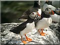 NU2337 : Puffins (Fratercula arctica) by Hugh Venables