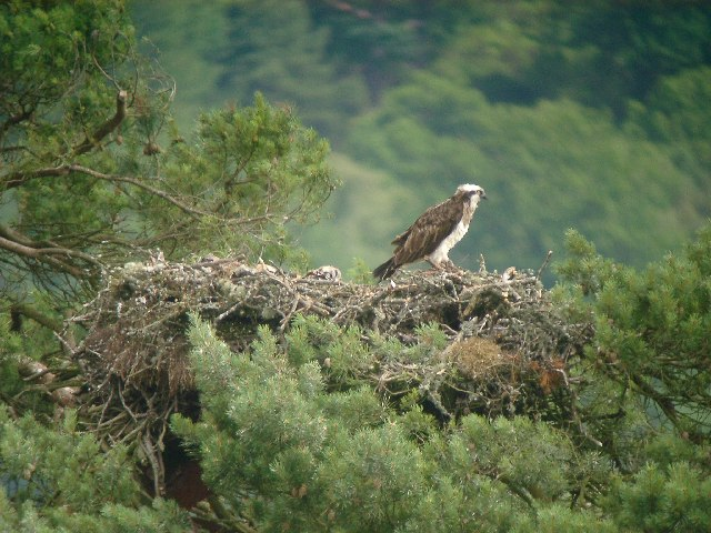Osprey (Pandion haliaetus) on nest, Loch of the Lowes