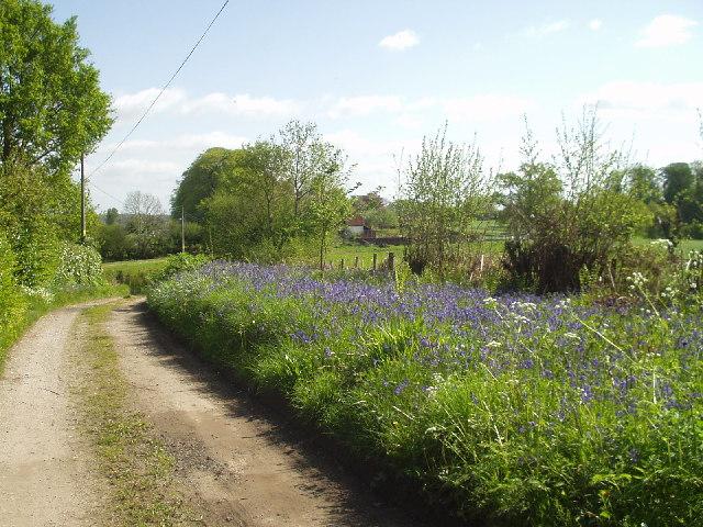 Bluebells in Alderholt Park