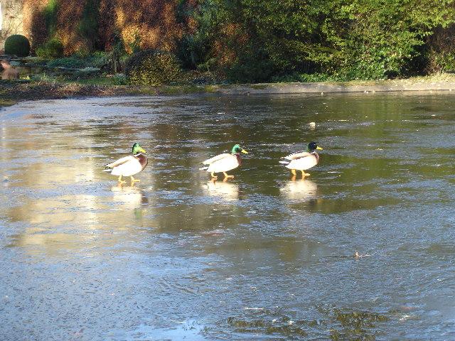 Ducks go ice skating on Rylstone village pond