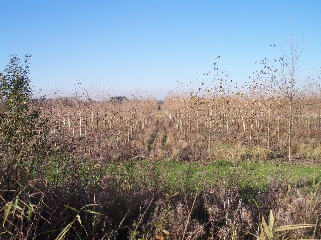 Birch Plantation