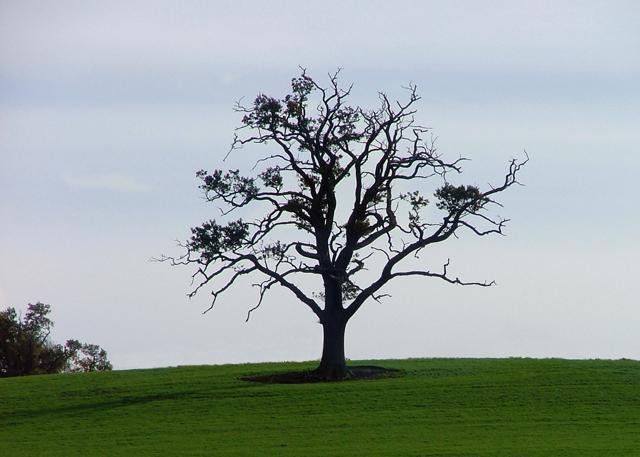 Tree on Idlicote Hill