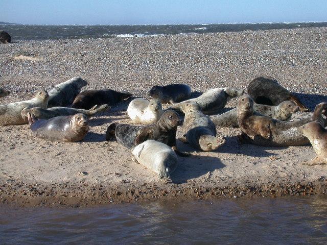Grey seals at Blakeney Point