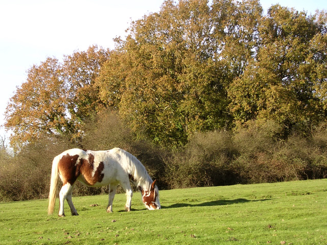Grazing pony on the slopes of Lodge Hill, New Forest