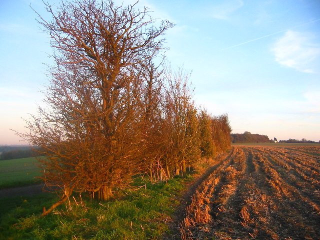 Hedgerow near Warden Hill