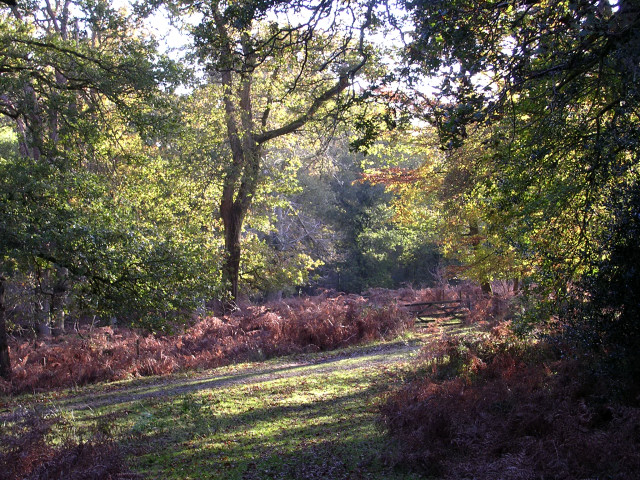 Oak trees in the Amberwood Inclosure, New Forest