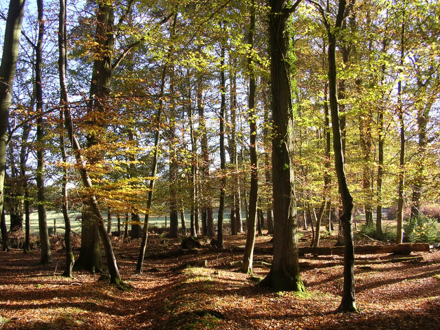 Autumnal beeches west of Eyeworth Lodge, New Forest