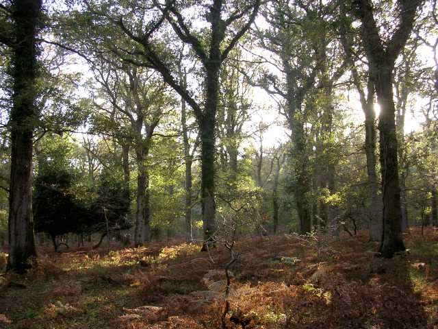 Autumn afternoon in the Amberwood Inclosure, New Forest
