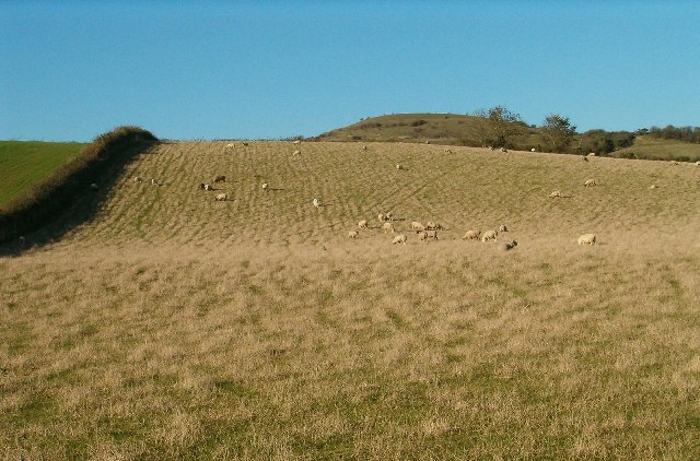 Sheep Grazing on the Slopes of Lollover Hill, Compton Dundon