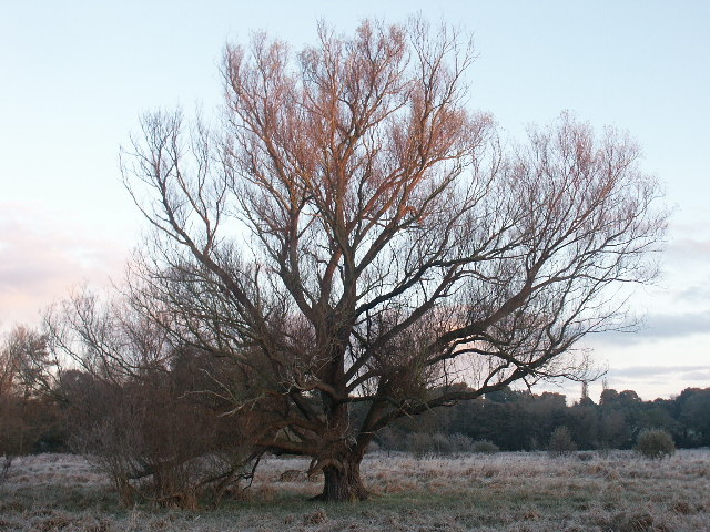 Willow, Marston Marshes