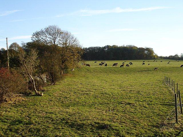 Cattle grazing near Holly House Farm