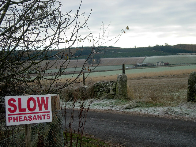 Slow pheasants!