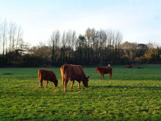 Devon cows at autumn twilight