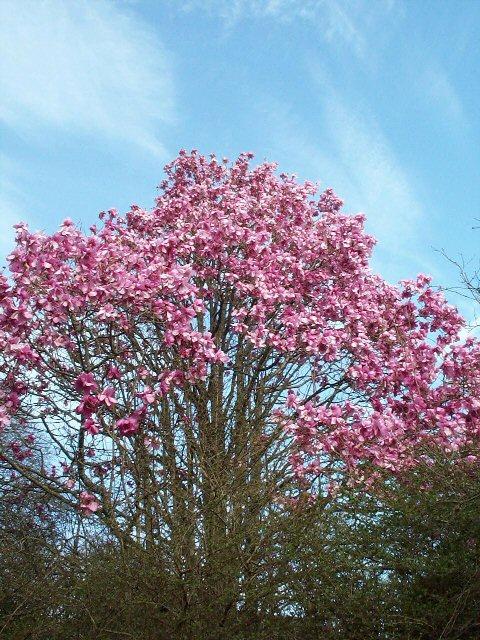 Trewidden Magnolia