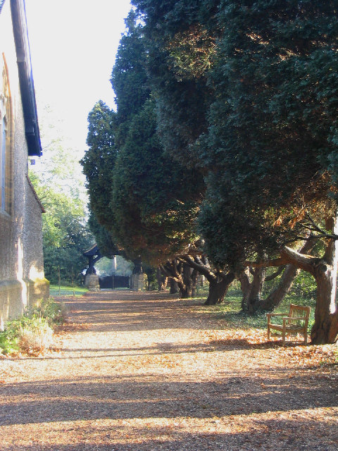 Yew Trees at St Mary's Church, Great Warley