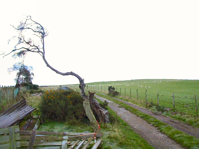 Dead Tree at Nant Y Ffridd