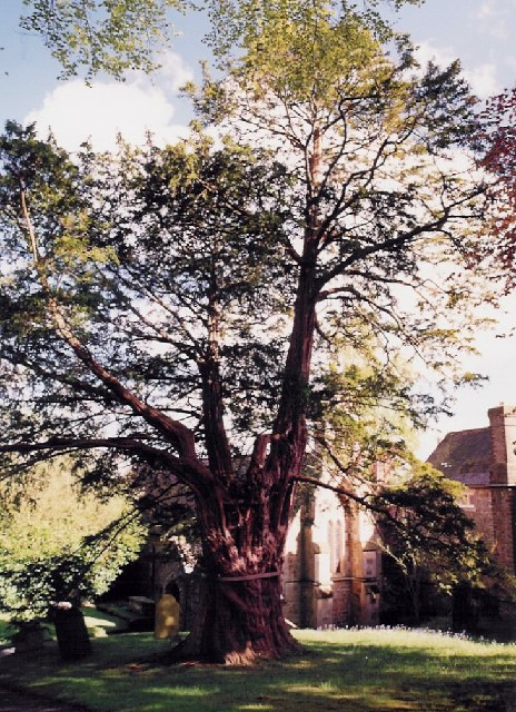 Ancient Yew, Church Preen
