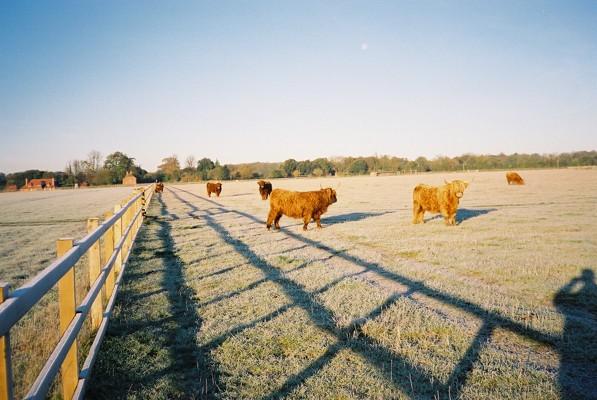 Highland cattle near Cockpole Green