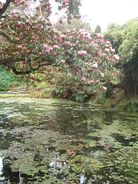 Rhododendrons over water, Heligan