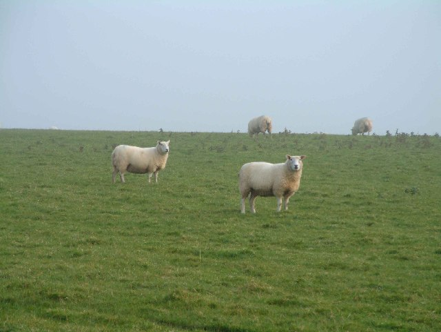 Sheep near Poole Farm