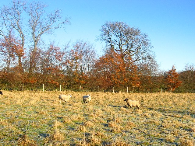 Sheep, Costerton.