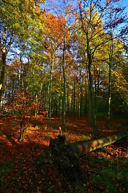 Beech trees at Swaffham Heath
